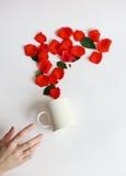 La taza blanca llena de rosas se deslizó de sus manos fondo blanco, pétalos color de rosa rojos Imágenes de archivo libres de regalías