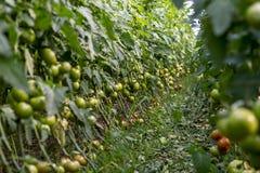 La tecnologia dei pomodori crescenti in serre Fotografia Stock