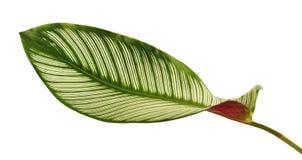 La tela a rayas Calathea del ornata de Calathea se va, follaje tropical aislado en el fondo blanco foto de archivo libre de regalías
