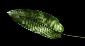 La tela a rayas Calathea del ornata de Calathea se va, follaje tropical aislado en fondo negro foto de archivo