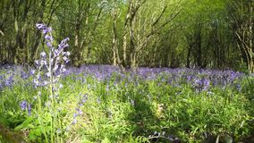 la Temps-faute de l'arbre ombrage le déplacement au-dessus des fleurs de jacinthe des bois banque de vidéos