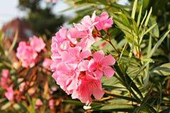 La tendresse des fleurs roses photographie stock libre de droits