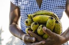La tenencia maduró naturalmente plátanos fotografía de archivo libre de regalías