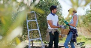 La tenencia sonriente de los pares cosechó aceitunas en la granja 4k metrajes