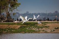 La tentative de reider entre les oiseaux Image stock