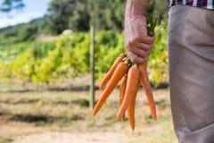 La tenuta dell'agricoltore ha raccolto le carote nel campo Fotografie Stock