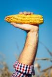 La tenuta della mano dell'agricoltore ha raccolto la pannocchia di granturco matura Immagine Stock