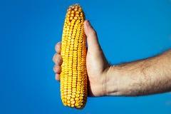 La tenuta della mano dell'agricoltore ha raccolto la pannocchia di granturco matura Immagine Stock Libera da Diritti