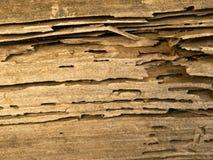 La termita infestó ascendente cercano de madera. Fotos de archivo libres de regalías