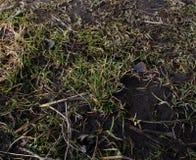 La terra è suolo, giovane erba, erba di grey di giallo Fotografie Stock Libere da Diritti