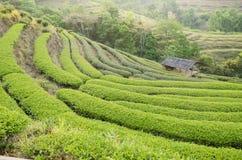 La terraza del té verde es modelo hermoso Fotografía de archivo