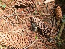 La terre, les cônes de pin brun de sapin et les lingotières de bâti naturels et copient l'endroit dans la forêt conifére sur le f images libres de droits