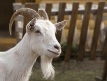 La testa bianca del ` s della capra immagini stock
