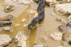 La testa dei serpenti, lo scivolo dell'Amur Immagine Stock