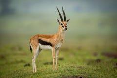 La testa dei supporti della gazzella di Thomson ha acceso il monticello Fotografie Stock