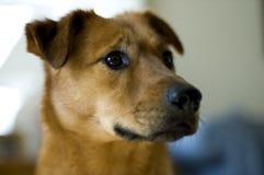 La testa del cane Fotografia Stock