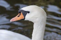 La testa del cigno bianco Fotografie Stock