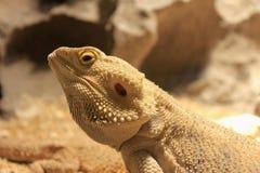 La testa del drago barbuto centrale Fotografia Stock