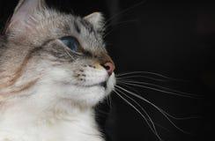 La testa del gatto su un fondo nero Immagine Stock