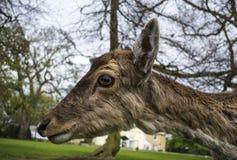 La testa del giovane cervo sveglio Fotografie Stock Libere da Diritti