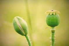 La testa del papavero ed il papavero germogliano in un prato dell'estate Immagini Stock