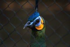 La testa del pavone Fotografia Stock Libera da Diritti