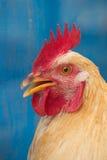 La testa del primo piano del gallo Fotografia Stock