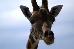 La testa del ` s della giraffa contro il cielo fotografia stock libera da diritti
