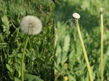 La testa del seme del dente di leone del dittico in pieno dei semi e svuota Fotografie Stock