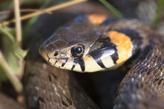 La testa del serpente Fotografia Stock