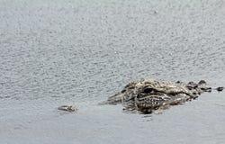 La testa dell'alligatore in acqua Fotografia Stock Libera da Diritti