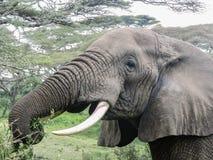 La testa dell'elefante (mangiare) Fotografie Stock