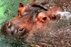 La testa dell'ippopotamo in acqua Fotografia Stock
