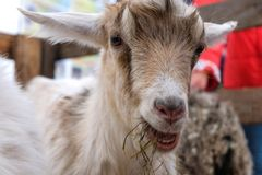 La testa della capra Fotografia Stock Libera da Diritti