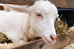 La testa della capra Immagine Stock Libera da Diritti