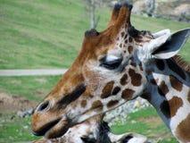 La testa della giraffa Fotografia Stock