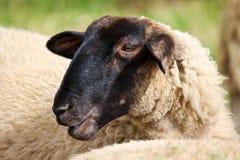 La testa della pecora Fotografia Stock Libera da Diritti