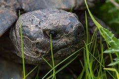 La testa della tartaruga Fotografie Stock Libere da Diritti