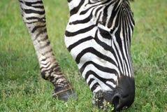 La testa della zebra Fotografia Stock Libera da Diritti