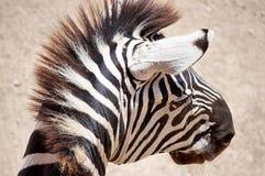 La testa della zebra Immagine Stock