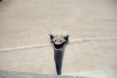 La testa dello struzzo Fotografie Stock