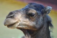 La testa dettagliata di vecchio cammello sveglio nel giardino dello zoo fotografia stock libera da diritti