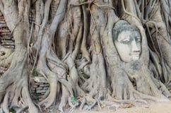 La testa di Buddha è inclusa nelle radici dell'albero, un bello antico Fotografia Stock