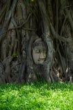 La testa di Buddha è la radice dell'albero di Bodhi coperto fotografia stock