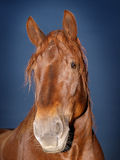La testa di cavallo ha sparato contro un cielo notturno Immagini Stock