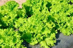 La testa di lattuga verde Fotografia Stock Libera da Diritti