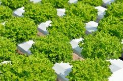 La testa di lattuga verde Immagini Stock Libere da Diritti