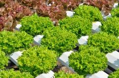 La testa di lattuga verde Fotografie Stock Libere da Diritti