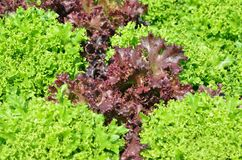 La testa di lattuga verde Fotografia Stock