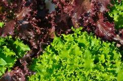 La testa di lattuga verde Fotografie Stock